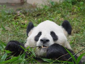 A Panda Called Pride